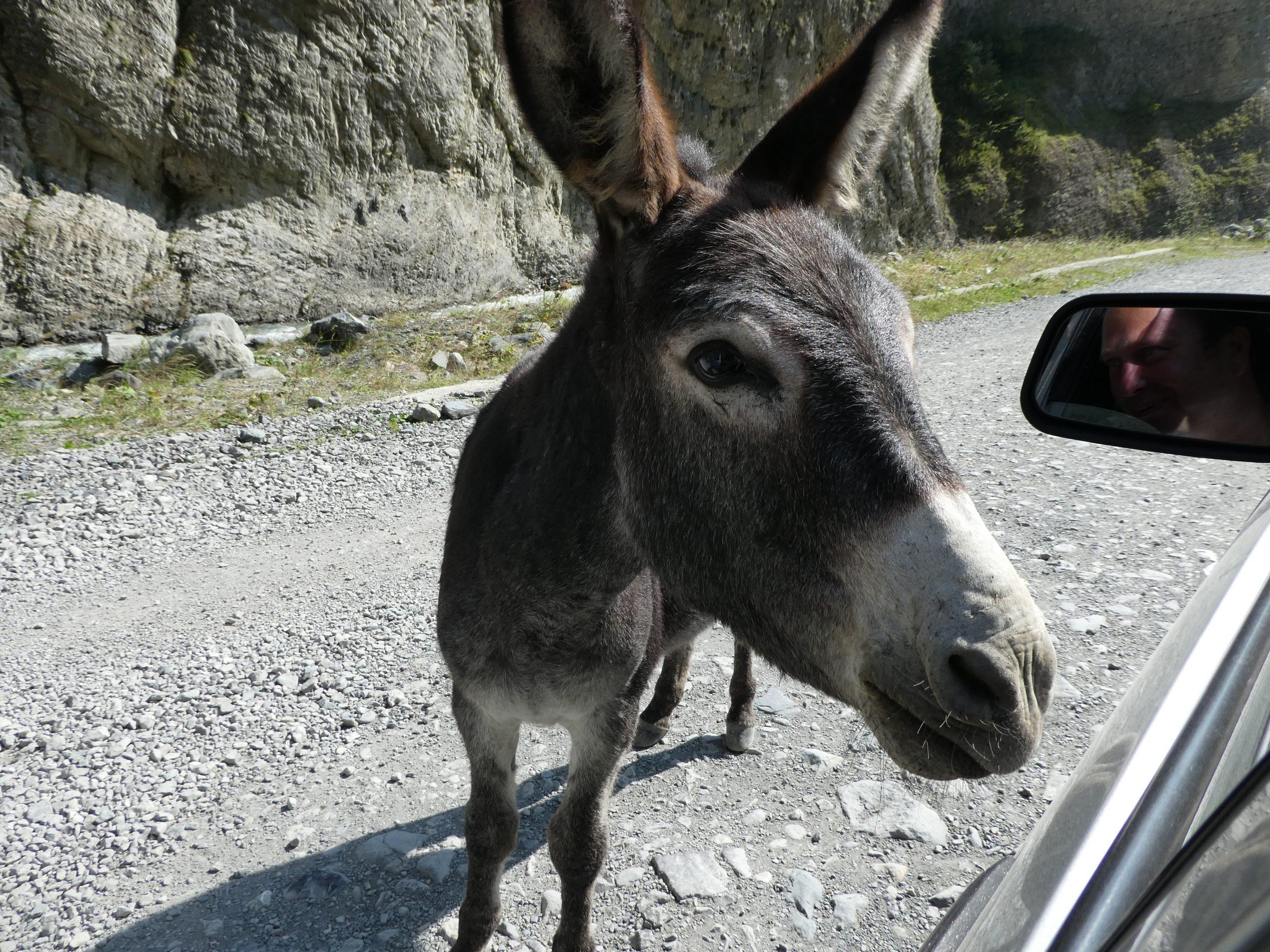 Eselbegrüßung im Genaldon Tal auf der Fahrt zum Kasbek